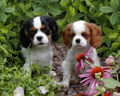 Orchard Hill Puppies